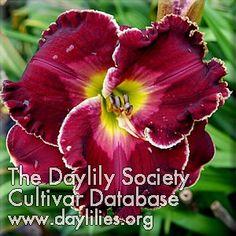 Daylily Celestial Empire