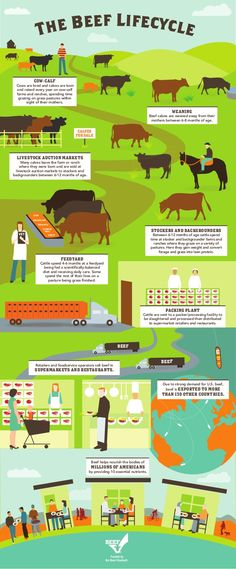 The Beef Lifecycle. At least, according to the Beef Industry. I'd prefer shipping the entire feed lot business because they can completely remove the threat of e-Coli by putting cattle on grass for 7 days before slaughter. Ag Science, Animal Science, Forensic Science, Life Science, Computer Science, Animal Agriculture, Agriculture Farming, Ffa, Farm Facts