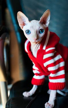 | Hairless Sphynx Kitty In a Red & White Sweater |