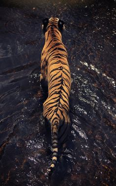 64 ideas for endangered animal art bengal tiger Animals And Pets, Baby Animals, Cute Animals, Wild Animals, Tiger Fotografie, Beautiful Creatures, Animals Beautiful, Animal Espiritual, Tiger In Water