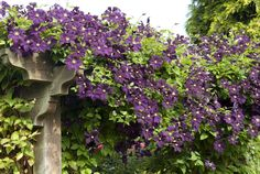 Clematis 'Etoile Violette' rambling across top of pergola - Marketing Visible Clematis, Purple Plants, Pergola Lighting, Home And Garden, Landscape, Flowers, Green, Climbers, Images