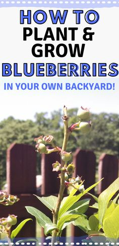 How To Plant Blueberries - Mranimal Farm Hydroponics Setup, Hydroponic Gardening, Blueberry Plant, Blueberry Bushes, When To Harvest Rhubarb, Gardening For Beginners, Gardening Tips, Fast Growing Vegetables, How Plants Grow