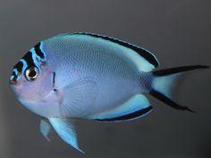 Watanabei Angelfish-F (Genicanthus watanabei) Marine Tank, Marine Fish, Underwater Images, Underwater Life, Beautiful Tropical Fish, Saltwater Aquarium Fish, Salt Water Fish, Angel Fish, Exotic Fish