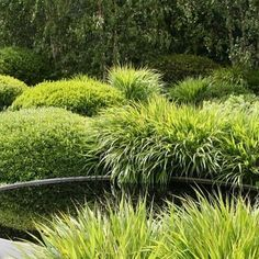 Buxus and Acorus,Betula pendula in background. Australian interpretation would include Tanika Lomandra,clipped dwarf Lilly Pilly and Lilly Pilly, Water Gum or Ivory Curl Tree background.
