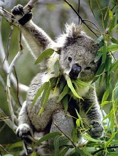 Koala says: awesome men these are the best leaves I eat for a long time!!!❤️❤️❤️❤️❤️