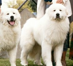 Beautiful Pictures of West Virginia | Puppies for sale - Majesta Great Pyrenees - in Beaver, West Virginia