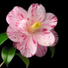 Camellia japonica & Haru-no-utena & # (Japan, - Blumen Tattoo Blossom Garden, Blossom Flower, Flower Art, Exotic Flowers, Amazing Flowers, Beautiful Flowers, Flower Backgrounds, Flower Pictures, Hibiscus