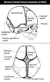 cranial sutures - Google Search
