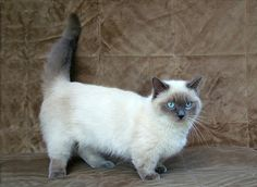 CUUUTE Lilac Point Siamese Munchkin cat!