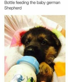 A German Shepherd getting bottle fed