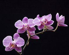 Orchids..