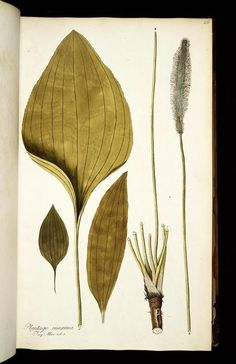 vol. 1 - Icones plantarum rariorum - Biodiversity Heritage Library ... the humble plantain ... good for bee stings