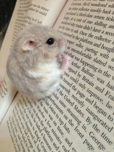 Gerbil sitting on a book