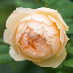 Wollerton Old Hall Climbing - David Austin Roses