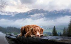 Download wallpapers Toller, sad dog, pets, cute animals, Nova Scotia Duck Trolling Retriever, dogs, Toller Dog