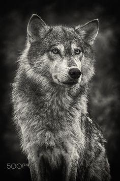 Sheriff - Sheriff - Grey Wolf (Canis lupus)