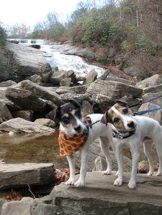 Jack Russell Terrier Cuties. Love the head tilt! So cute!
