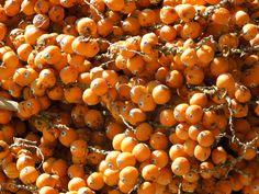 jerivá, o fruto