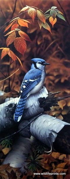 A blue jay is using a birch wood pile for a resting place in the Jerry Gadamus print BLACKBERRY BLUE. Comes with a Certificate of Authenticity.