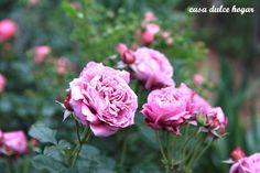 casa dulce hogar: mis rosales del cerro... my roses up in the hills