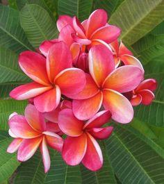 The plumeria Ziggys Folly. An absolute favorite! Wonderful colours tight f Plumeria Flowers, Hawaiian Flowers, Tropical Flowers, Exotic Flowers, Exotic Plants, Beach Flowers, Types Of Flowers, Pretty Flowers, Growing Flowers