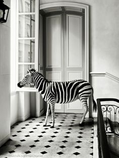 Photographe Wiliam Curtis Rolph « Deyrolle Zebra »