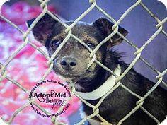 Scottsdale, AZ - Chihuahua Mix. Meet A3499244, a puppy for adoption. http://www.adoptapet.com/pet/11488099-scottsdale-arizona-chihuahua-mix