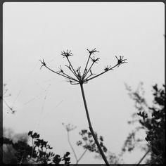 Fennel seed head and cobwebs, foggy morning