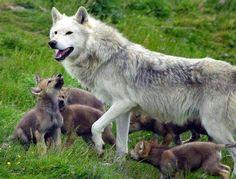 Loba y sus cachorros.