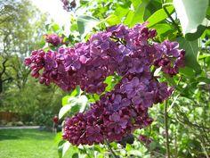 Lilac 'Congo' - Syringa vulgaris