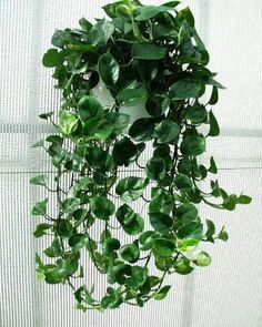 Philodendron cordatum these are really hardy, we grow them at work and they also handle really low light. I reackon 3 hangers could look cool