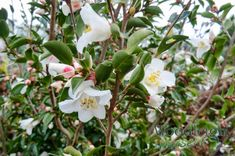 Camellia transnokoensis from Woodleigh Nursery Camellia, Garden Plants, White Flowers, Perennials, Nursery, Hydrangeas, Plymouth, Mountain, Baby Room