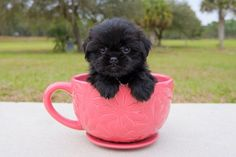 Amazing Teddy Bear puppies available for adoption in Florida. Adopt our cute puppies from private breeder, Florida Pups.