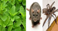 Here is a safe method of getting rid of insects and rodents. It's nothing like the insecticides you buy over the counter, but it's equally, if not more efficient.