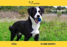 Ollie here from Newbury loves to play with his toys and enjoys playing fetch. Also enjoys training and recall training, this will need to be continued in a private secure area once he is rehomed. He will need to be walked where he won't meet too many other dogs.