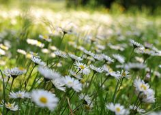a yard of daisies is far easier to care for. I don't go for all that lawn mowin'