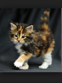 Cute, fluffy kitten that's walking!!!
