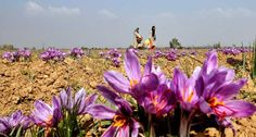 Kashmiri Saffron- Prerequisites Geographical Indication