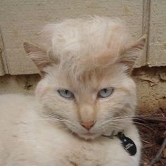 15 Hilarious Pictures Of Cats Looking Like Donald Trump - We Love Cats and Kittens Donald Trump Bad, Trump We, Fancy Cats, Fluffy Cat, Beautiful Cats, Cat Toys, Memes, Cats And Kittens, Funny Pictures