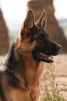 German Shepherd | by Bosanski kinološki savez