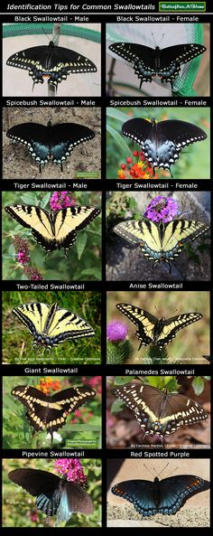 Swallowtail Butterflies in Texas, including the Black Swallowtails, Tiger Swallowtails, Spicebush Swallowtails, and Giant Swallowtails. Butterfly Garden Plants, Butterfly House, Butterfly Kisses, Monarch Butterfly, Butterfly Cage, Butterfly Food, Beautiful Bugs, Beautiful Butterflies, Butterfly Identification