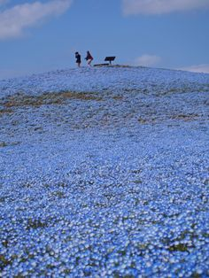 Nemophila flower fields at Hitachi Seaside Park, Japan