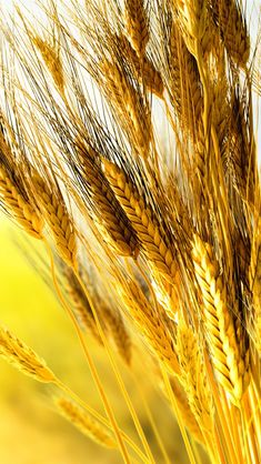 Golden wheat close-up  ♥g♥