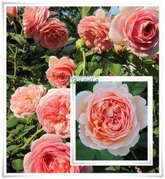 roze angielskie Candy Rain