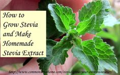 How to Grow Stevia and Make Homemade Stevia Extract. Drying stevia. Making alcohol based stevia extract. Making water based stevia extract.