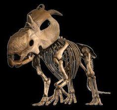 New Dinosaur Species, Pachyrhinosaur Lakustai, Had Bony Frill And Horns