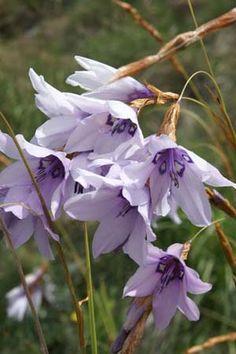 Dierama robustum Sun Perennials, Tropical Garden, Purple Flowers, Garden Inspiration, Planting Flowers, Home And Garden, Landscape, Floral, Plants