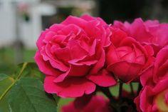 3 métodos para plantar esquejes de rosa: patatas, hidroponía o sustrato