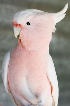 I was raised with cockatoos. They can be very lovable, but also have a flighty temperament (pun intended) lol. They are a beautiful parrot. I don't remember having a peach one, although they are my favorite! <3 Vivayne