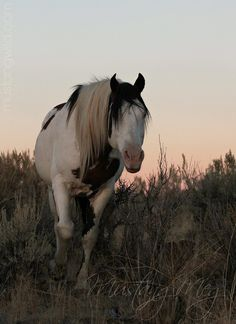 Shaman by Mustang Meg Beautiful Horse Pictures, Beautiful Horses, Animals Beautiful, Adorable Animals, Cute Horses, Horse Love, All About Horses, Wild Mustangs, All The Pretty Horses
